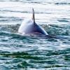 Minke whale approaching