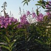 Fireweed season